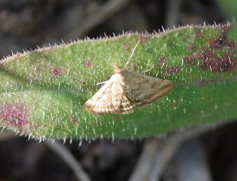 CRAMBIDAE Pyrausta despicata (pyrauste du plantain).JPG