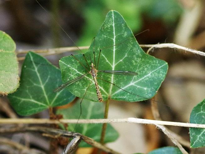 TIPULIDAE Tipula sarajevensis.JPG