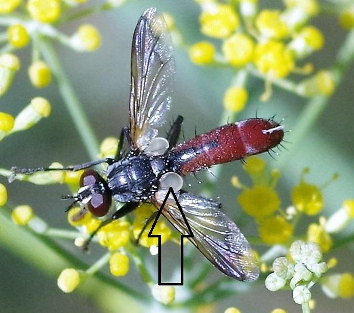 TACHINIDAE Cylindromyia bicolor 3 (2).JPG