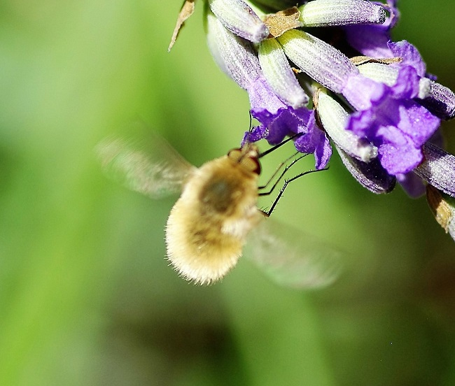 BOMBYLIIDAE Bombylius major 2 (grand bombyle).JPG