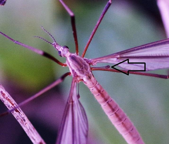 TIPULIDAE Tipula luna 2 (2).JPG