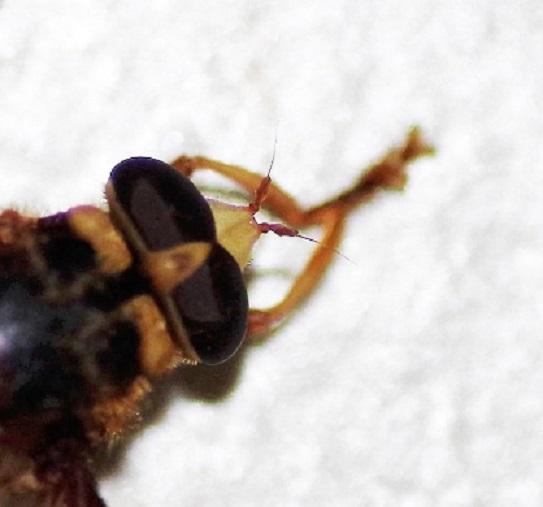 SYRPHIDAE Milesia crabroniformis 1 (2).JPG