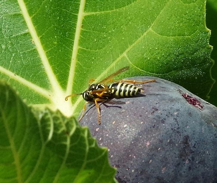 VESPIDAE Polistes sp. 1 (mâle).JPG