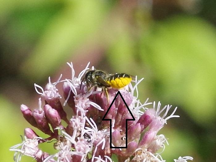 MEGACHILIDAE Megachile albisecta 2 - Copie.JPG