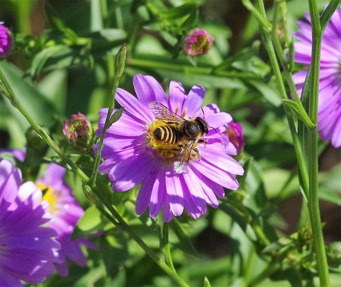 MEGACHILIDAE Megachile centuncularis 2.JPG
