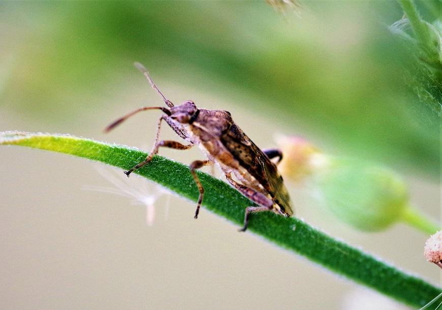 RHOPALIDAE Strictopleurus punctanervosus 1.JPG