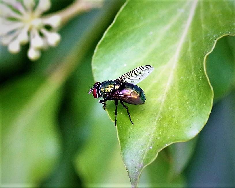 CALLIPHORIDAE Lucilia ampullacea (mouche cuivrée).JPG