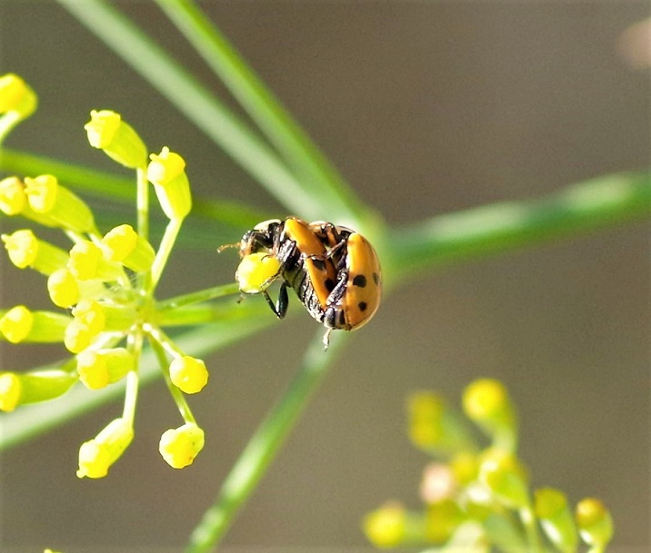COCCINELLIDAE Coccinella septempunctata 4 (coccinelle à sept points).JPG