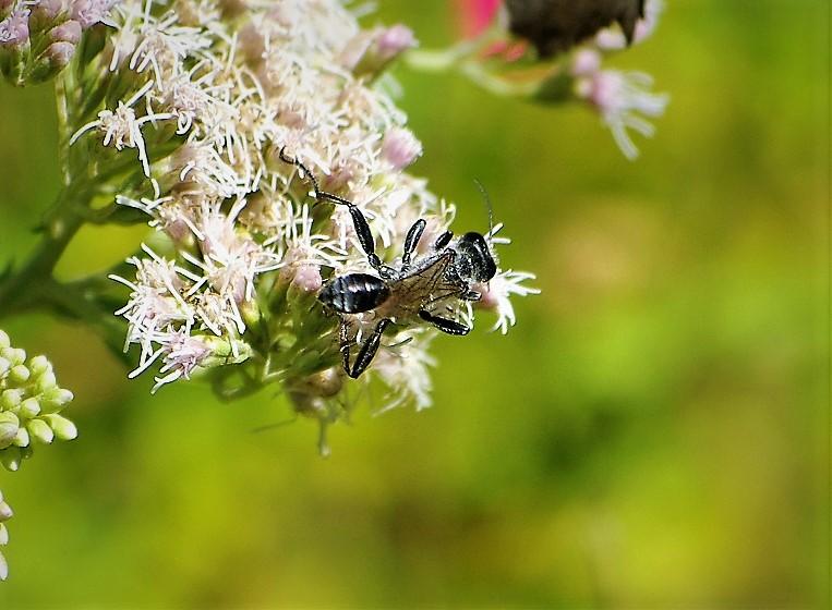 SPHECIDAE Isodontia mexicana 2.JPG