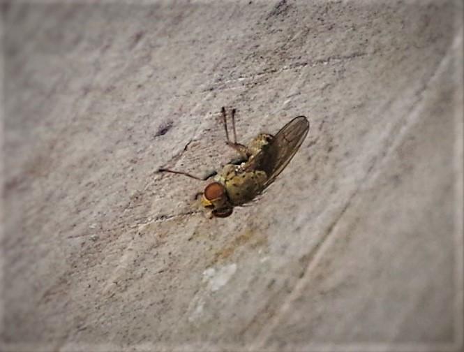 SCATHOPHAGIDAE Scathophaga stercoraria 2 (mouche à merde).JPG