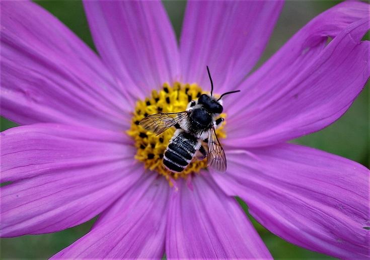 MEGACHILIDAE Megachile albisecta 1.JPG
