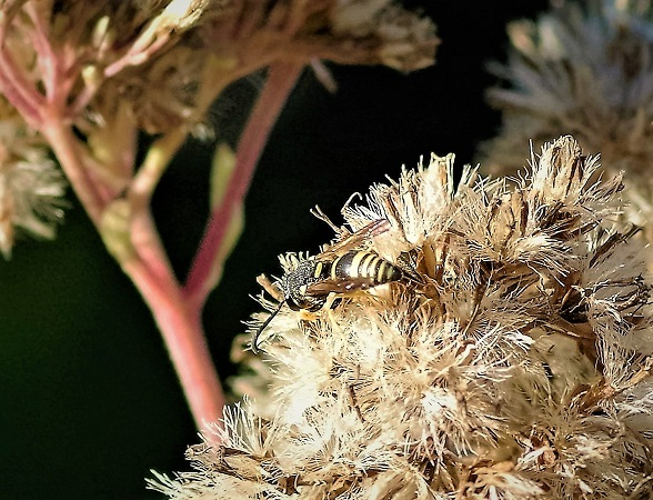 CRABRONIDAE Gorytes laticinctus 1.JPG