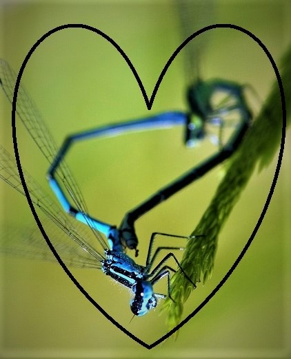 COENAGRIONIDAE Coenagrion puella 4 (agrion jouvencelle couple) (2).JPG