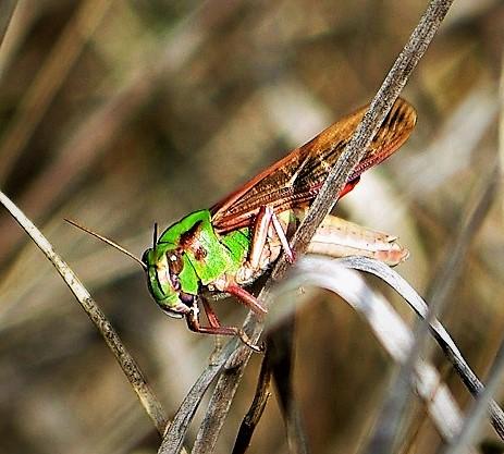 ACRIDIDAE Locusta cinerascens (2).JPG