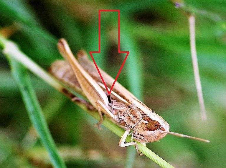 ACRIDIDAE Chorthippus albomarginatus 1 (criquet marginé) (2).JPG