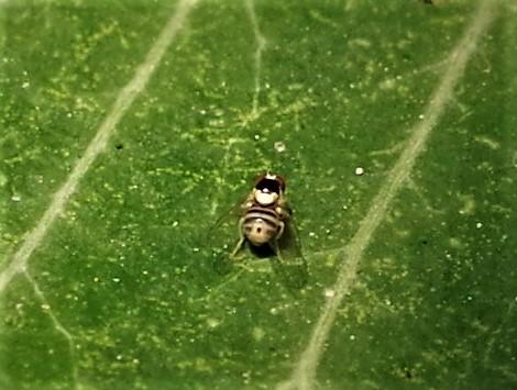 AGROMYZIDAE Liriomyza brassicae 1.JPG