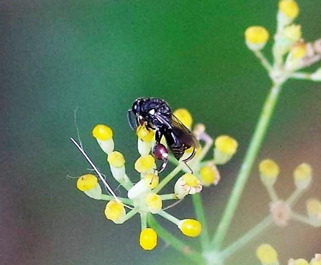 CHALCIDIDAE Brachymeria podagrica 2.JPG