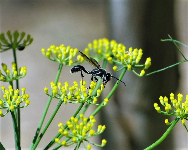 SPHECIDAE Isodontia mexicana 3.JPG