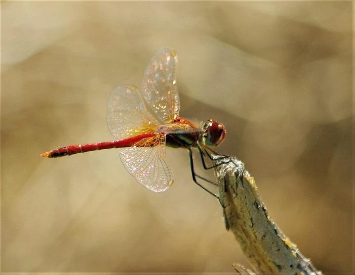 LIBELLULIDAE Sympetrum fonscolombii 8 (sympetrum à nervures rouges mâle).JPG