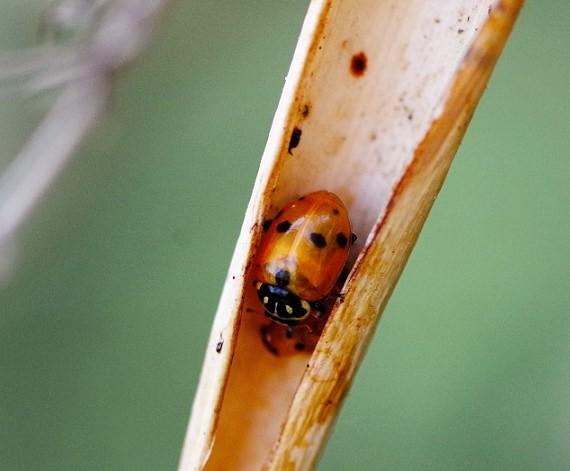 COCCINELLIDAE Coccinella septempunctata 3 (coccinelle à sept points) (2).JPG