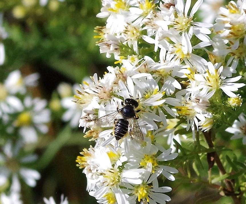 MEGACHILIDAE Megachile apicalis.JPG