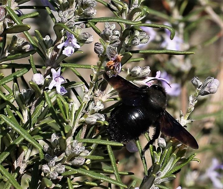 APIDAE Xylocopa violacea 6 (abeille charpentière).JPG