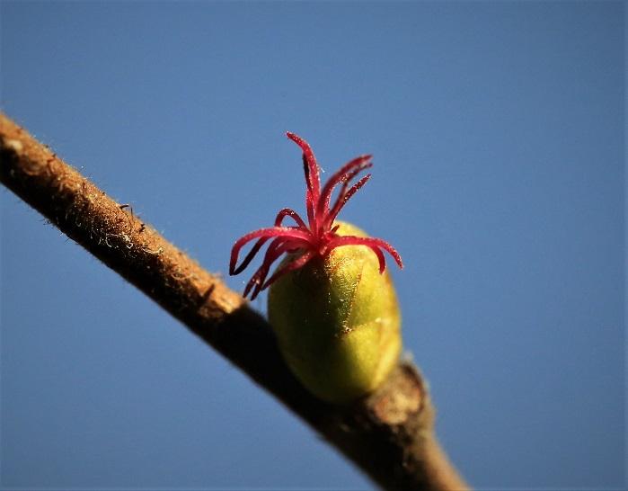 Noisetier (fleur femelle).JPG