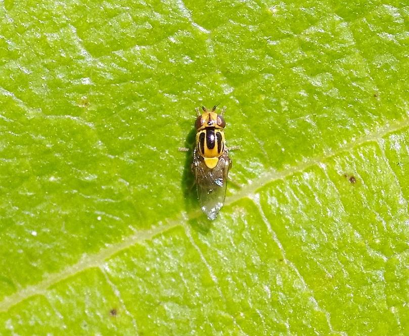 CHLOROPIDAE Thomatomyia notata 1.JPG