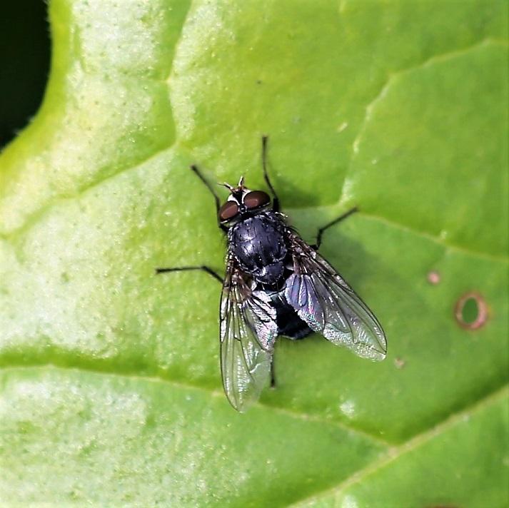 CALLIPHORIDAE Calliphora sp. 4.JPG