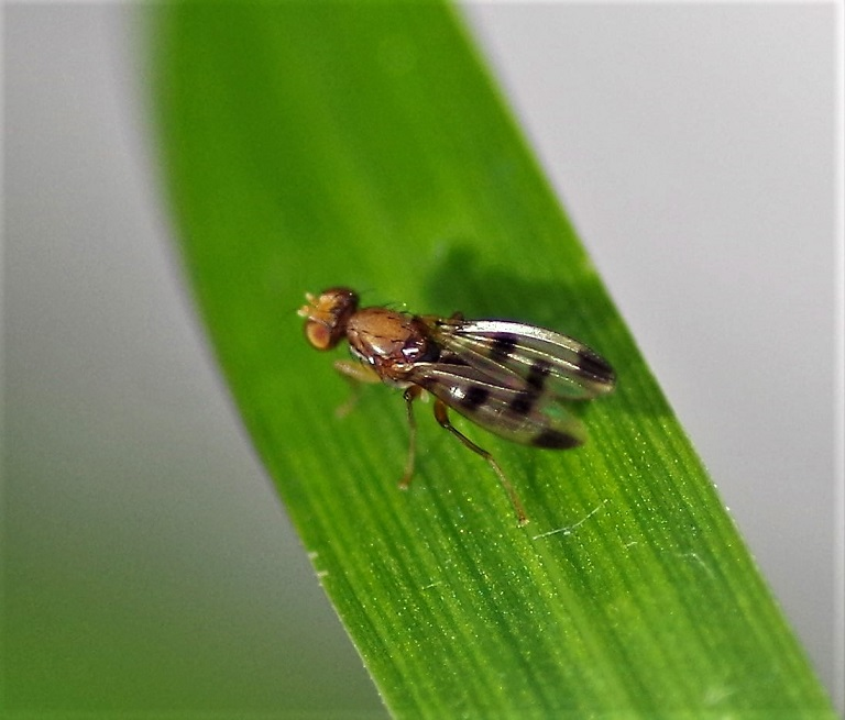 OPOMYZIDAE Geomyza tripunctata 3.JPG