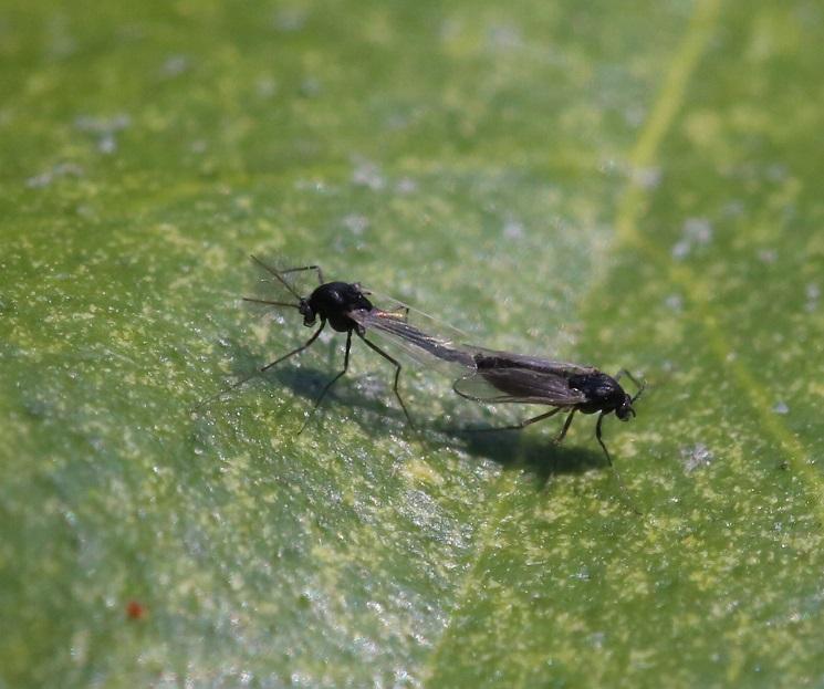CHIRONOMIDAE Orthocladiinae sp. 2.JPG
