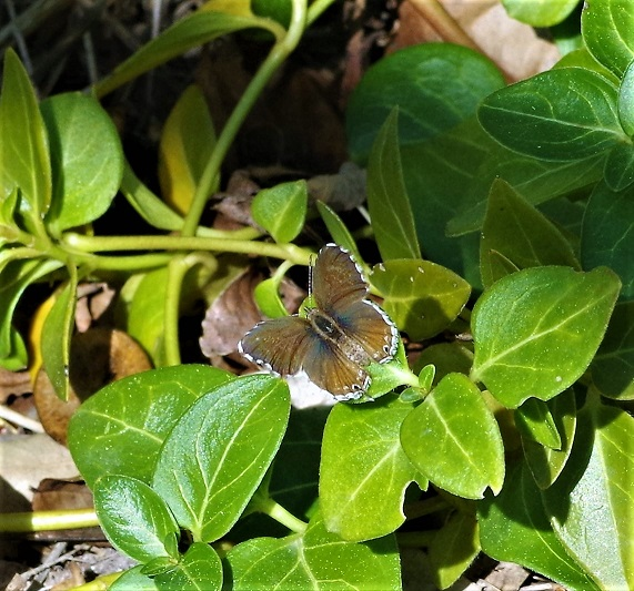 LYCAENIDAE Cacyreus marshalli 7.JPG