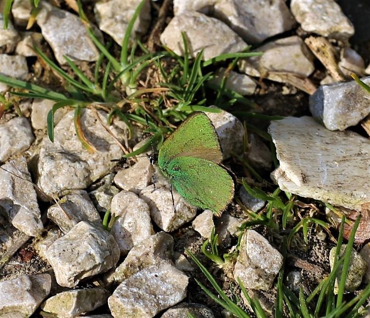 LYCAENIDAE Callophrys rubi 1.JPG