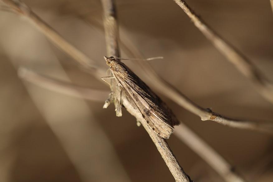 CRAMBIDAE Nomophila noctuella.JPG