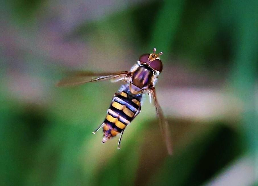 SYRPHIDAE Episyrphus balteatus 4.JPG