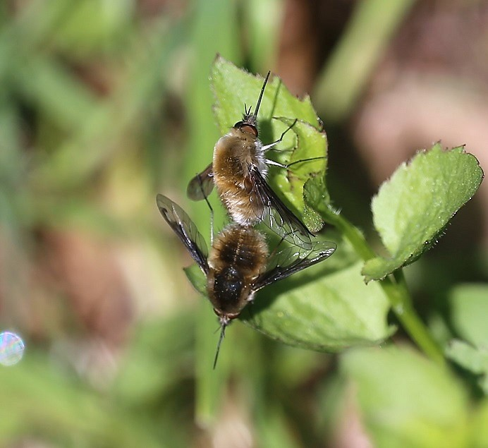 BOMBYLIIDAE Bombylius major 2.JPG