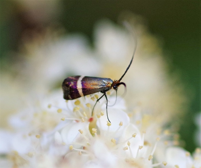 ADELIDAE Adela australis 1.JPG