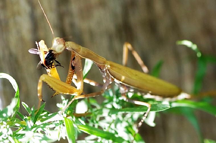 DICTYOPTERA MANTIDAE Mantis religiosa 3.JPG