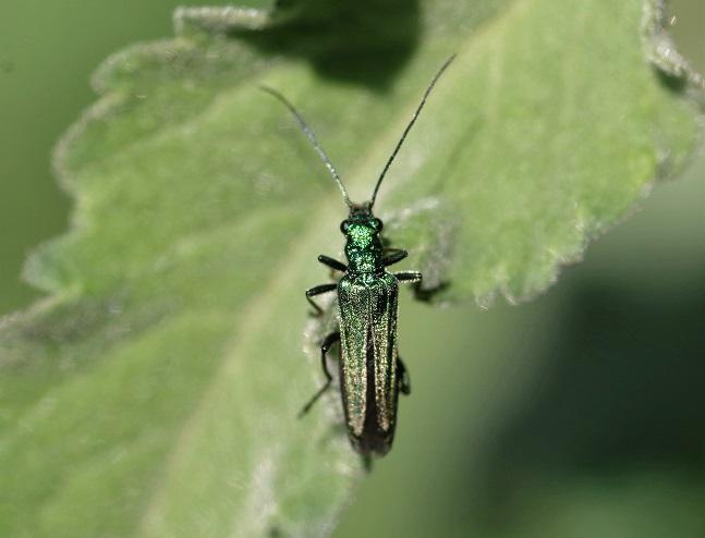 OEDEMERIDAE Oedemera nobilis 2.JPG