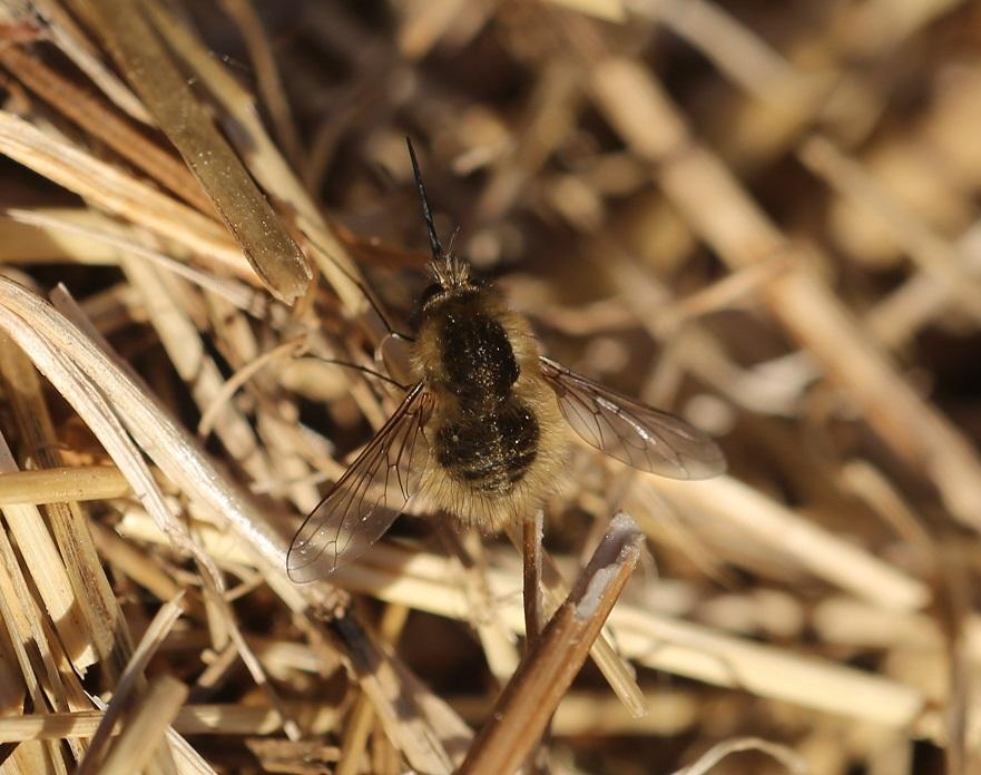 BOMBYLIIDAE Bombylius venosus.JPG