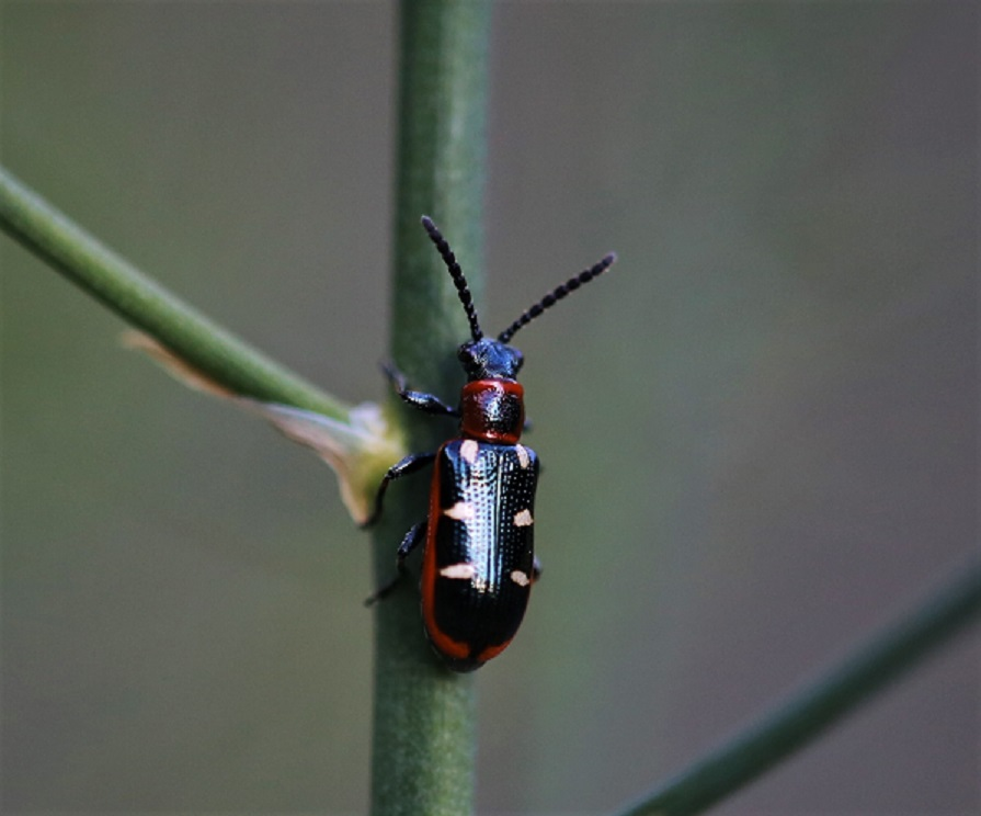 CHRYSOMELIDAE Crioceris asparagi 1.JPG