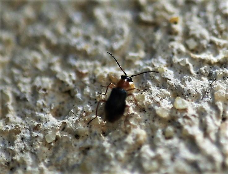 CANTHARIDAE Cratosilis sp. (2).JPG