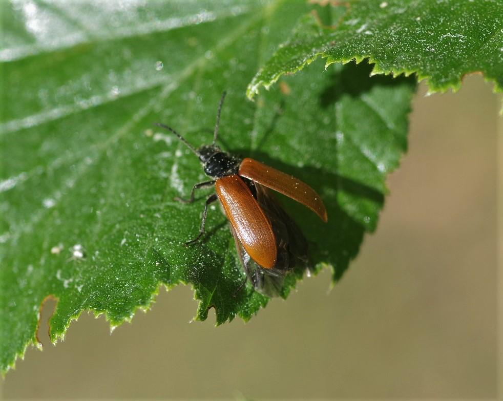 TENEBRIONIDAE Omophlus lepturoides 4.JPG