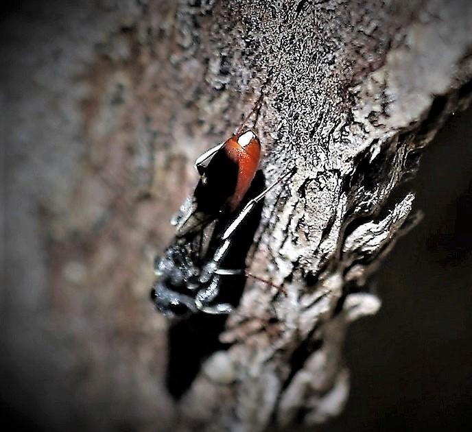 HALICTIDAE Sphecodes albilabris.JPG