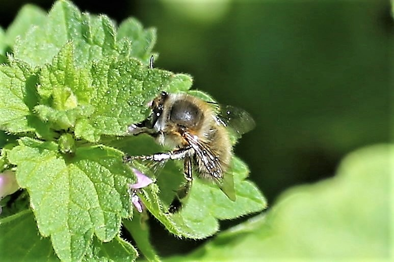 APIDAE Anthophora plumipes 1.JPG