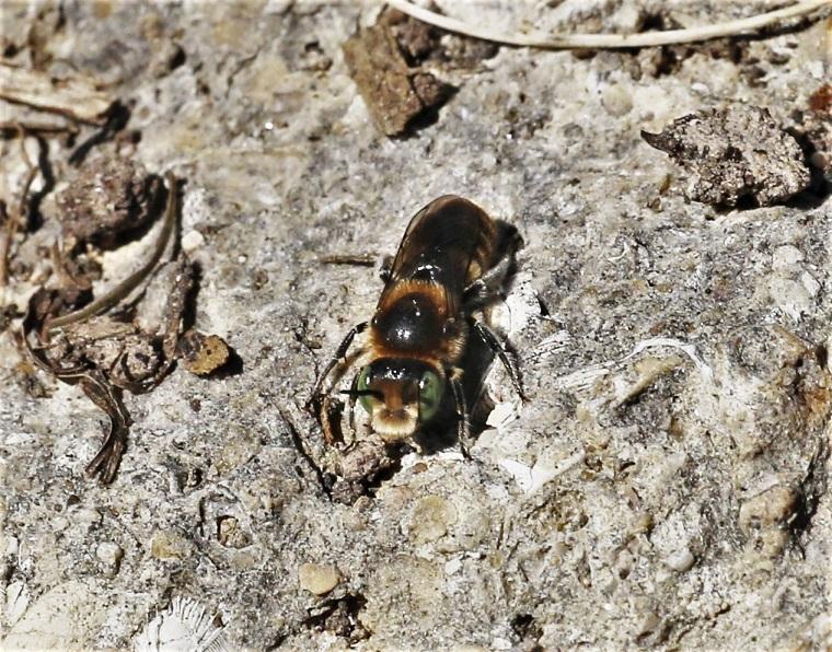 MEGACHILIDAE Megachile sp. 4.JPG