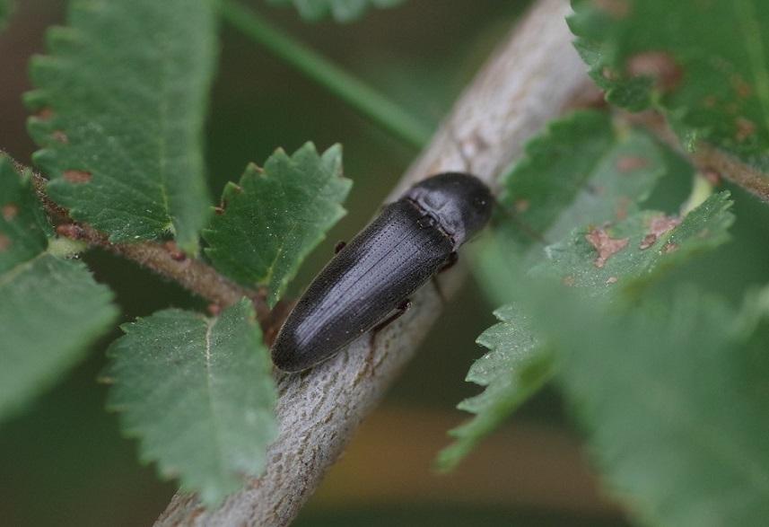 ELATERIDAE Ampedus scrofa 2.JPG