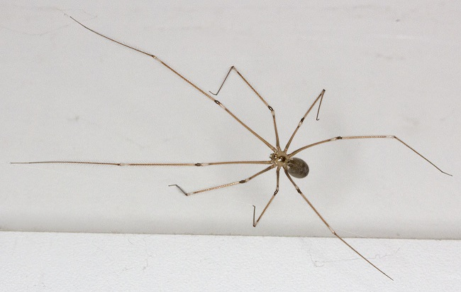spider_pholcus_phalangioides_19.8.2011.jpg