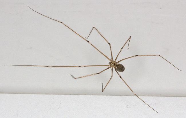 spider_pholcus_phalangioides_19.8.2011.jpg