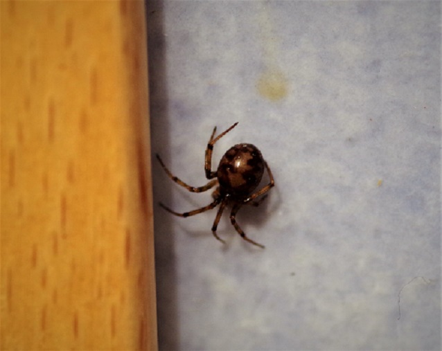 THERIDIIDAE Steatoda triangulosa 2.JPG